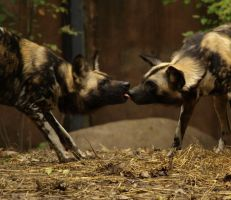African Hunting Dogs Kiss by Debellos