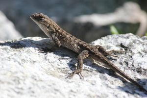 Lizard on the Lookout 2 by IlluminatedNewt