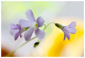 Oxalis triangularis II by KKokosz