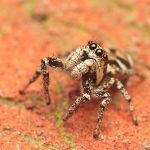 Rover the Jumping Spider by snomanda