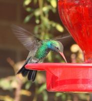 Broad-billed Hummingbird by BananagoddessAZ