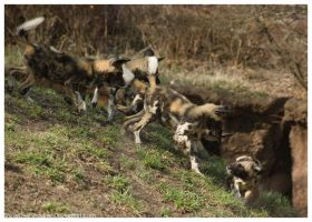 African Wild Dog - Pups 033 by ShineOverShadow