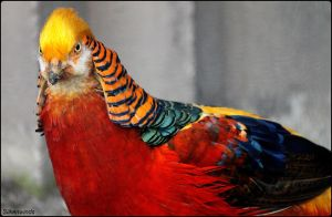 Golden Pheasant of China by SilkenWinds