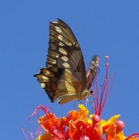 Monarch Butterfly. Oro Valley, AZ, USA. by Marc-Lewis-Boykin