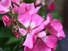 Pink Geraniums by ParadoxJaneDesigns