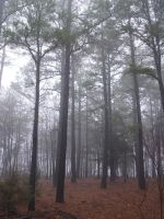 Pine woods forest  stock 1 by InKi-Stock