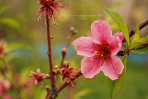 Peach Blossom in the Wind by Simina31