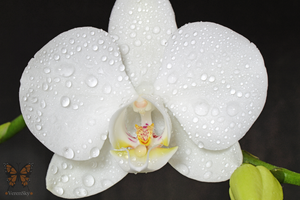 Orchidea bianca by VerenSky