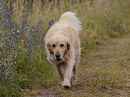 Golden Retriever 1 by Lakela