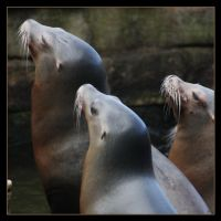 Sealions by Globaludodesign