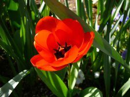 Red Orange Tulip Flower Stock by Enchantedgal-Stock
