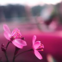 Pink ++ by MKho