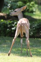 Baby African Antelope3 by Lynxwing