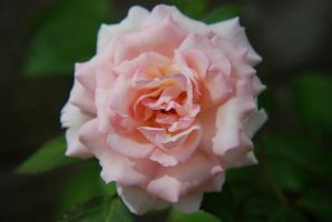 Pink Rose by morgans20