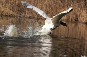 Attacking swan by KristinCross