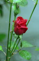 Roses love the rain. by Tailgun2009
