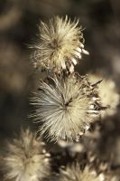 Thistle by AEW