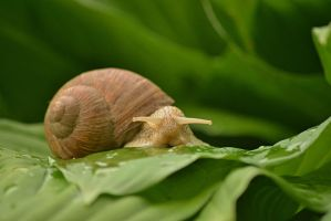 Snail on leaf by SvitakovaEva