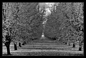 Almond Orchard in B_and_W by ernieleo