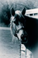 Portrait of a Work Horse - BW by Elle-Arden