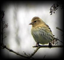 Pine Siskin Before Heading South by JocelyneR