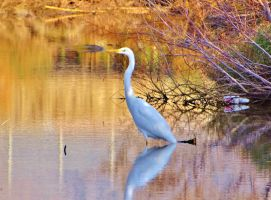 Great egret by BL00DYSunflowers