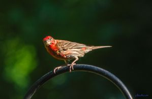 House Finch by phbeks