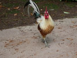 Aggressive Rooster by Beboots