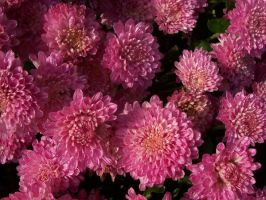 Pink Flowers by jstan714