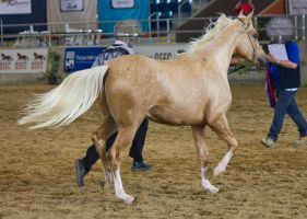 STOCK - 2014 Arabian Gala-209 by fillyrox