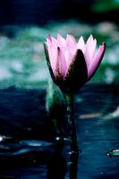 Water Lilly 35 by Art-Photo