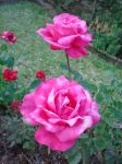 Pink Rose by leticia-rr76