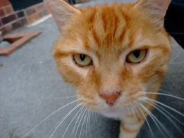 Ginger Cat by Fogmeister