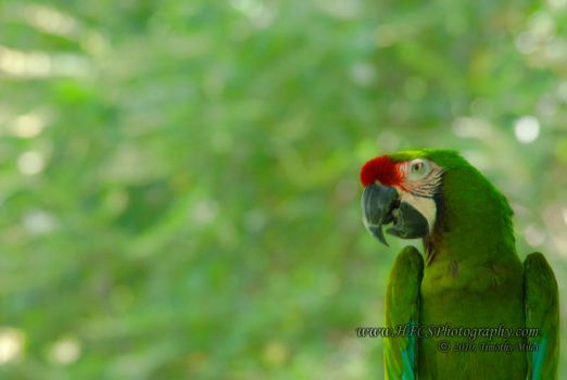 Great Green Macaw by HFCS