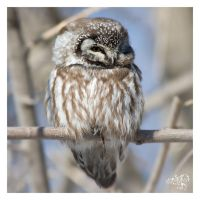 Boreal Owl by AmirNasher