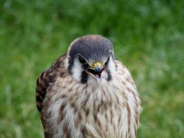 American Kestrel by lauratje86