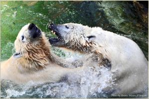 Polar Bear fight 1 by brijome