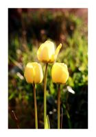 Tulips 2 by bwaa