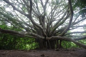 Banyan Tree 12 by Niedec-STOCK