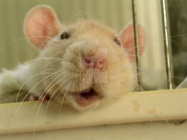 Mr. Rat by Sadna