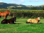 Horses Lying Down in the Sun by EquinePhotoandStock