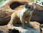 Yellow Mongoose 2 by RunaCorner