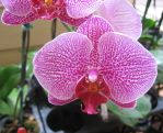 Pink Orchid by GreenEyezz-stock