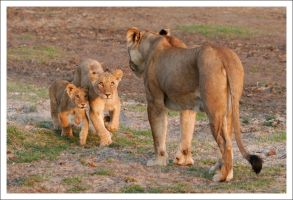 Lioness with Cubs - 3005 by eight-eight