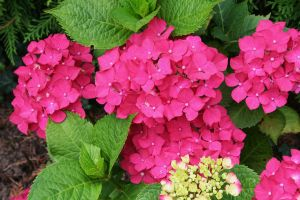 hydrangeas in my garden today 4 by ingeline-art