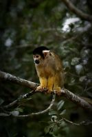 squirrel monkey by NicolasM