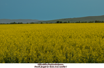 Yellow flower field  by Miha3lla by Miha3lla