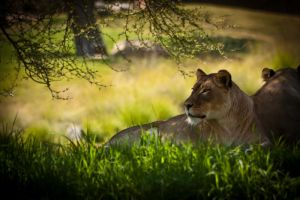 Lioness by palina32