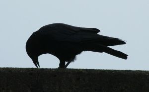 Crow Silhouette 239 by Eolhin