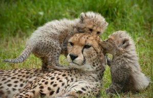 The Cheetah Family 305-12m by Haywood-Photography